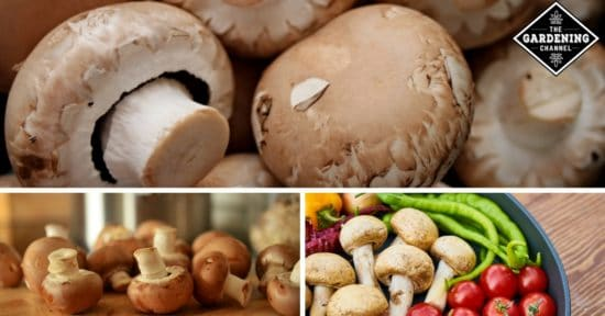 eat mushrooms for better health