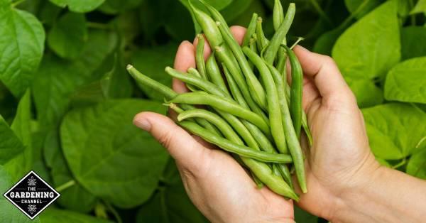 pole beans harvest