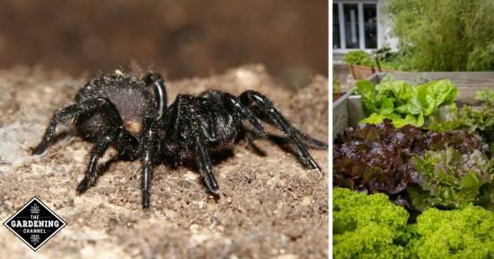 spider venom insecticide for gardens