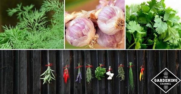 List of herbs from A to Z