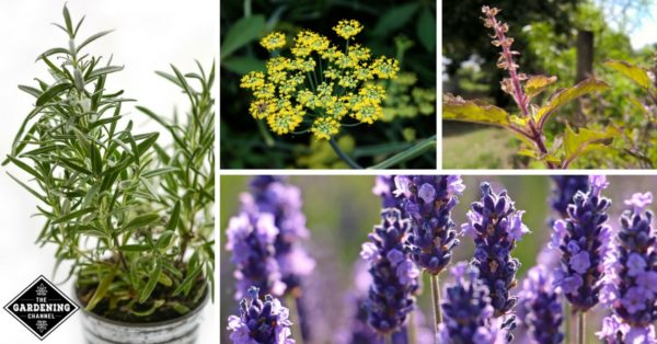 medicinal herbs to grow