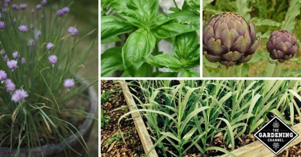 perennial plants you can regrow