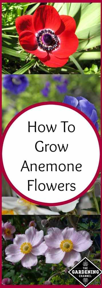 growing anemone flowers