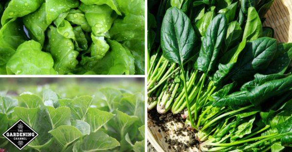 leaf greens fight cognitive decline