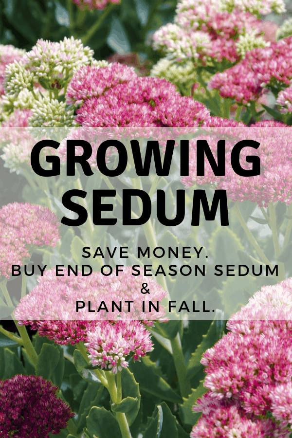 pink sedum in garden with text overlay growing sedum save money buy end of season sedum and plant in fall