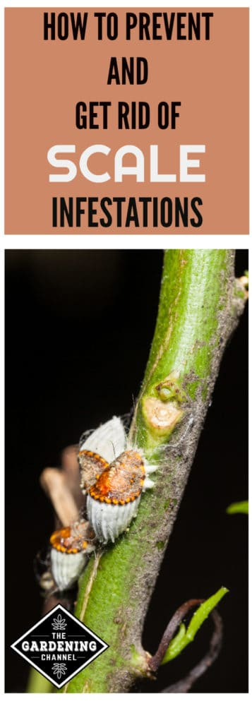 scales in garden on plant stem with text overlay how to prevent and get rid of scale infestations