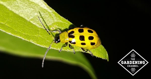 spotted cucumber beetle on leaf