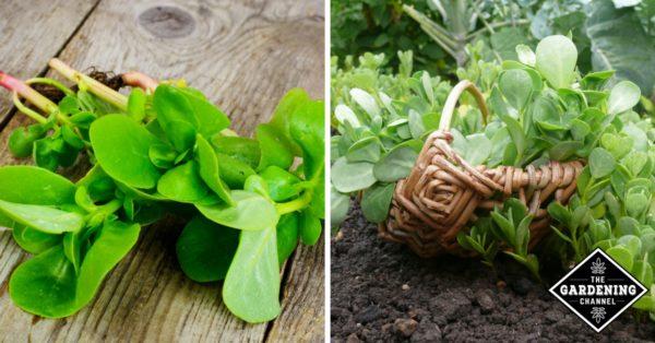 harvested purslane and purslane being harvested in garden