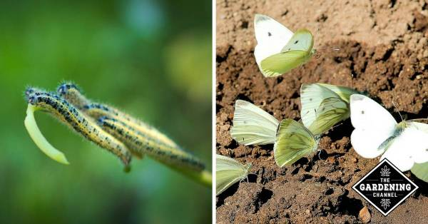 cabbage white catepillars and cabbage white butterflies