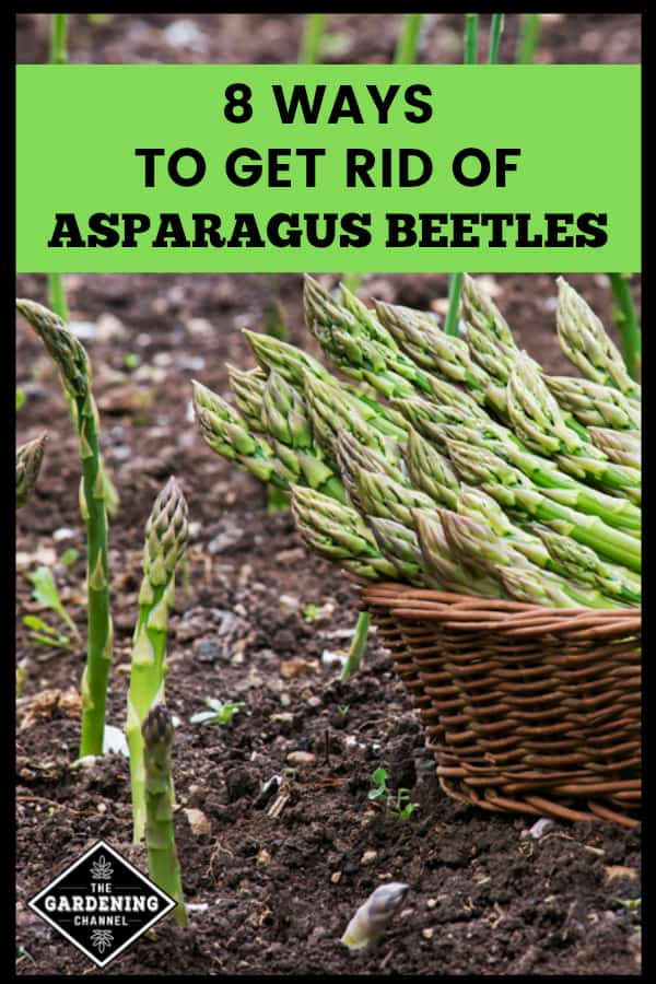 harvesting asparagus in the garden with text overlay 8 ways to get rid of asparagus beetles