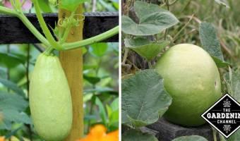 zucchini and gourd growing in garden