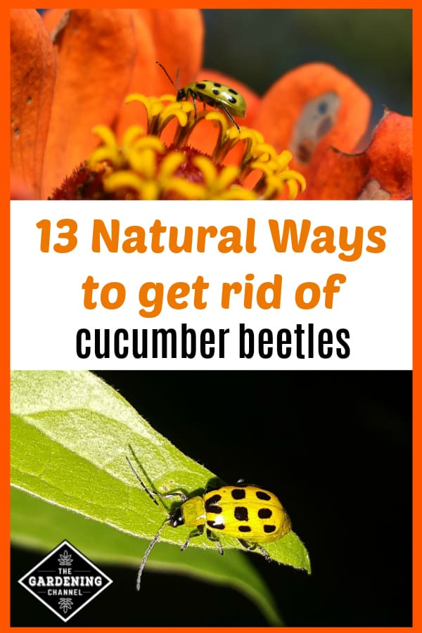 flower with spotted cucumber beetle and cucumber beetle on leaf with text overlay thirteen natural ways to get rid of cucumber beetles