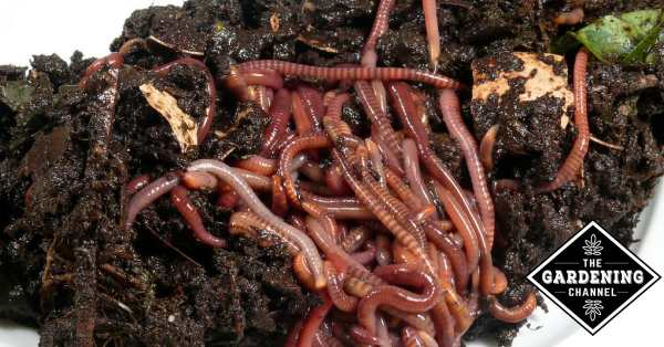 compost worms in worm castings
