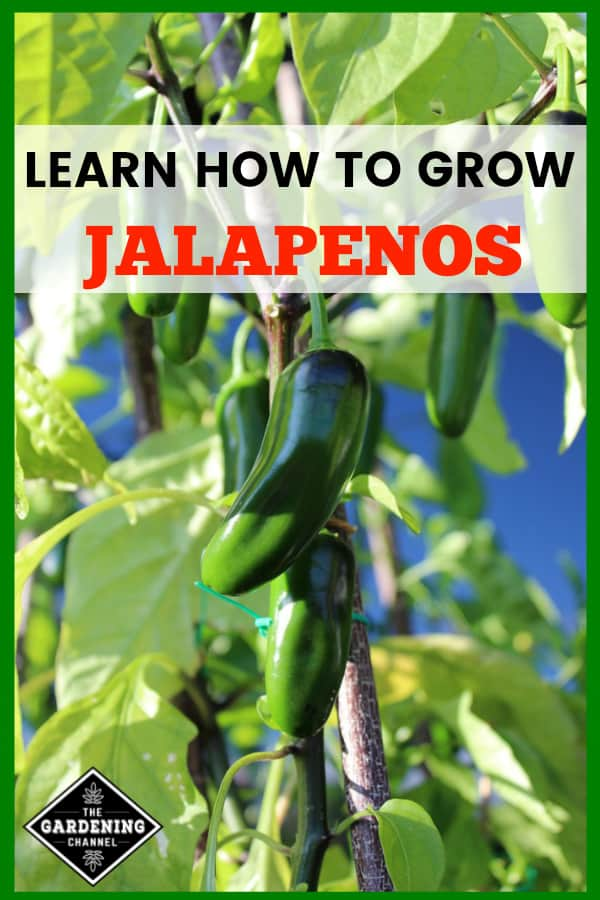 jalapeno plant growing in garden with text overlay learn how to grow jalapenos
