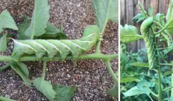 tomato hornworm identification photo