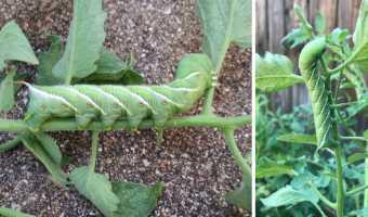 tomato hornworm identification photo