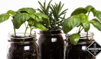 basil and rosemary planted in Mason jars