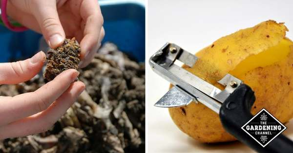 compost worm bin and potato peels