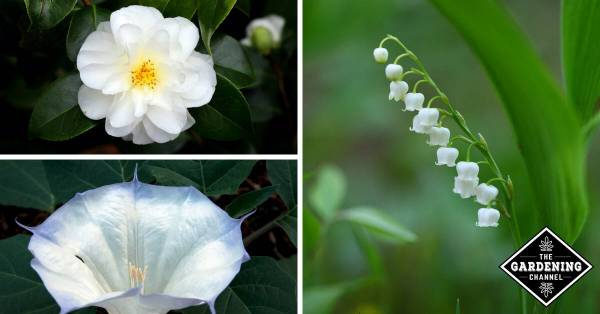 camellia trumpet and lily of valley flower