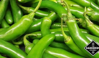unripe green serrano peppers