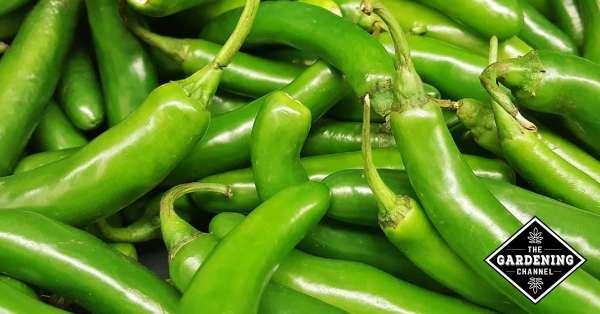 unripe green serrano peppers