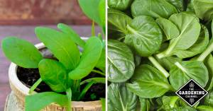 spinach growing in container and harvested spinach