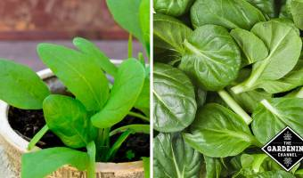 How to Grow Spinach in a Container