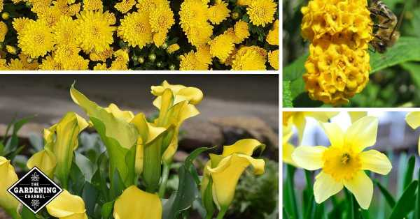 A list of the best yellow flowers for your garden gardening channel mums yellow butterfly bush cala lily daffodil mightylinksfo