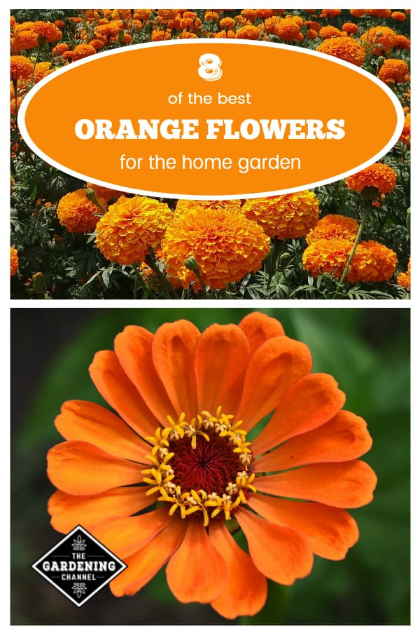 marigolds and zinnia with text overlay eight of the best orange flowers for the home garden