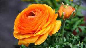 orange Ranunculus flower