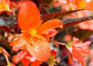 orange begonia flowers