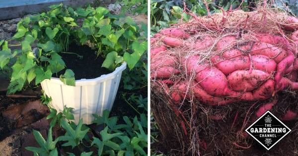 How To Grow A Massive Sweet Potato Harvest With Diy
