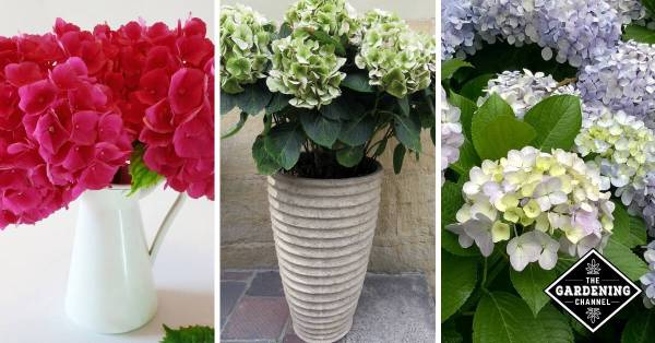 cut hydrangea flowers, hydrangea potted plant, hydrangea bush
