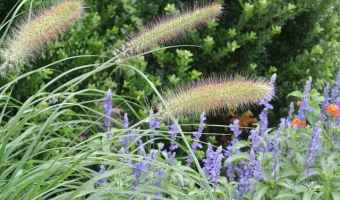 fountain grass and blooms for firefly habitat
