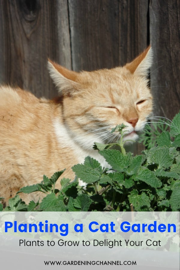 cat playing in catnip with text overlay planting a cat garden plants to grow to delight your cat