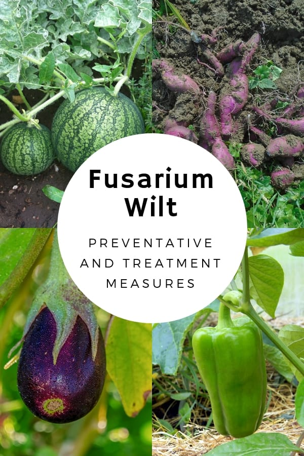 watermelon sweet potatoes eggplant peppers with text overlay fusarium wilt preventative and treatment measures