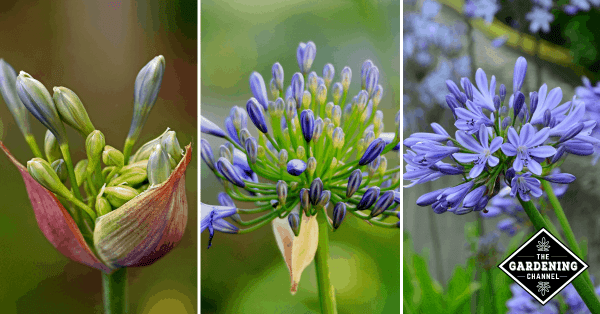 How To Grow Agapanthus Flowers African Lily Lily Of The Nile