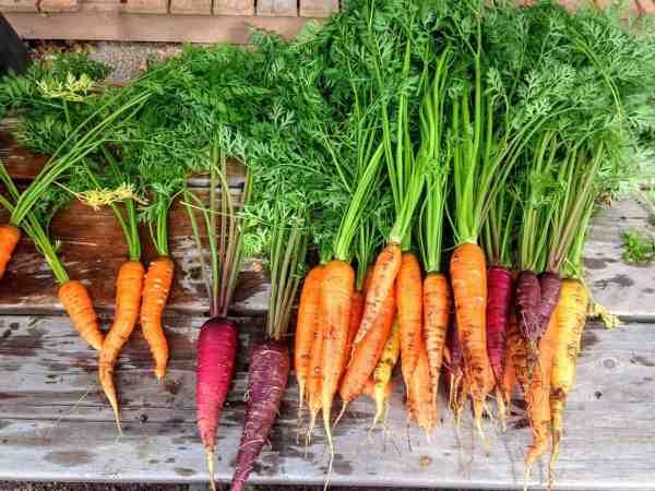harvested carrots fresh