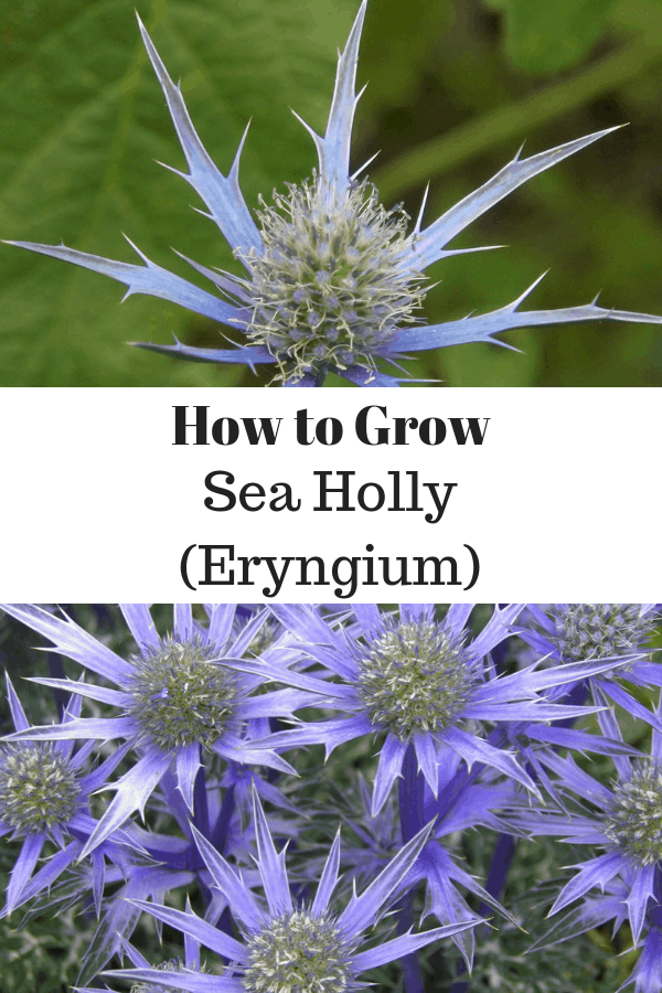 sea holly flower and sea holly plant with text overlay how to grow sea holly eryngium
