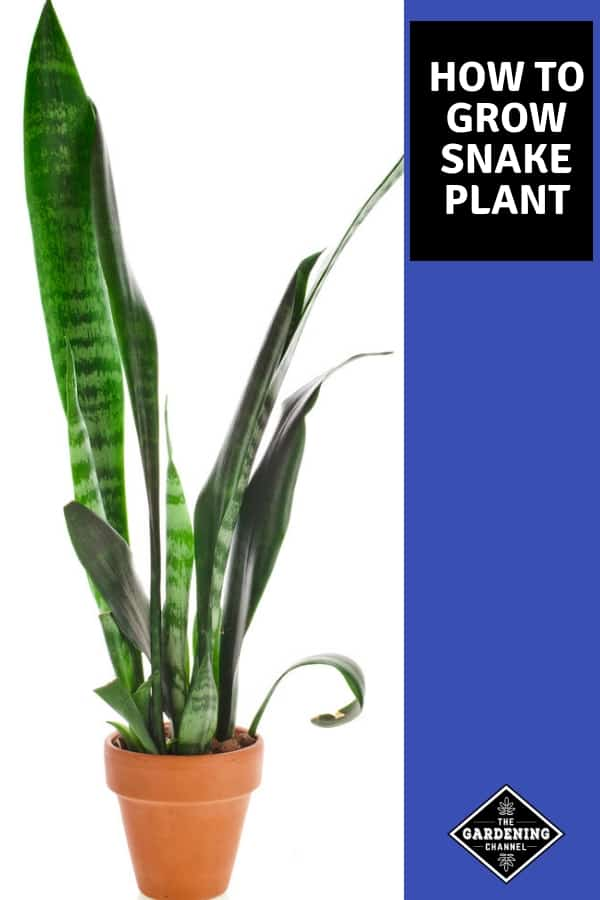 snake plant in garden container with text overlay how to grow a snake plant
