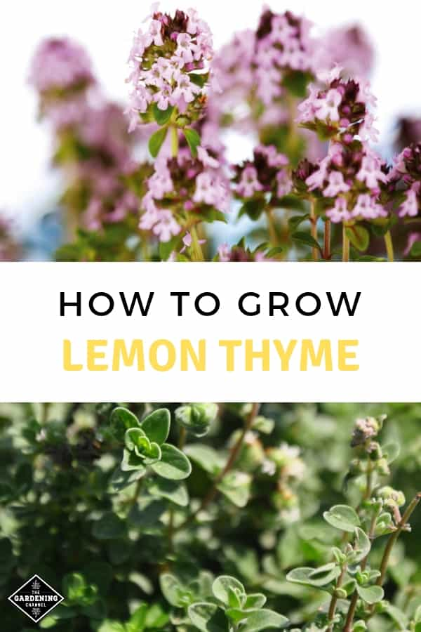 blooming lemon thyme and lemon thyme with text overlay how to grow lemon thyme