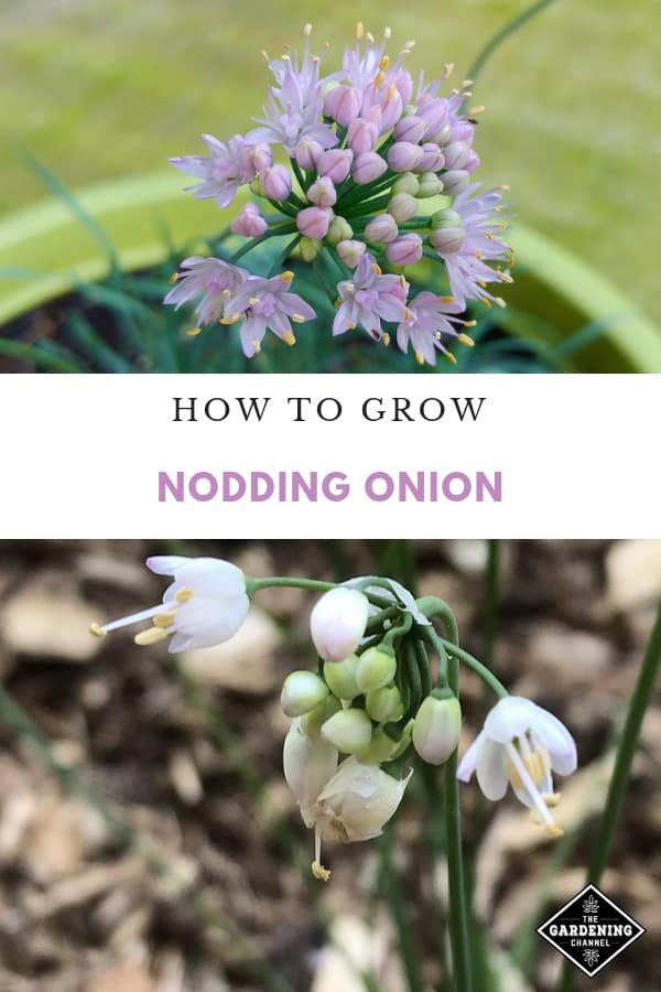 Growing Nodding Onions pinterest pin