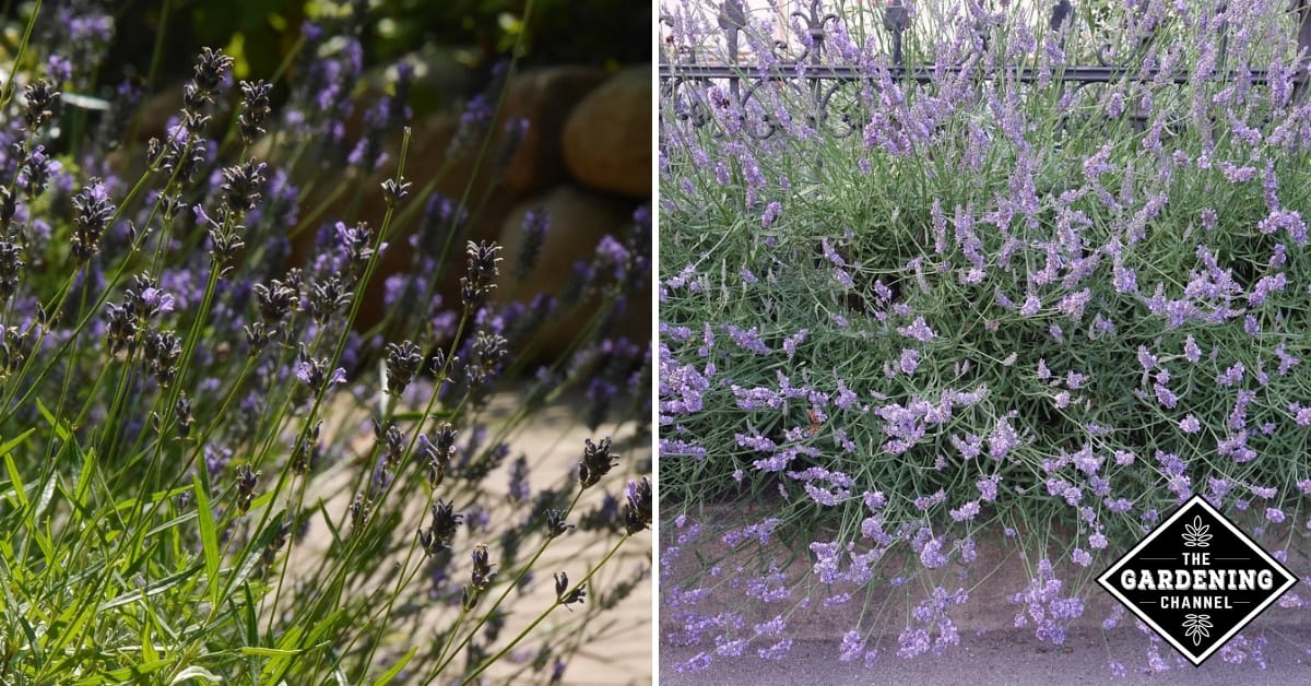 How To Plant A Lavender Hedge Gardening Channel