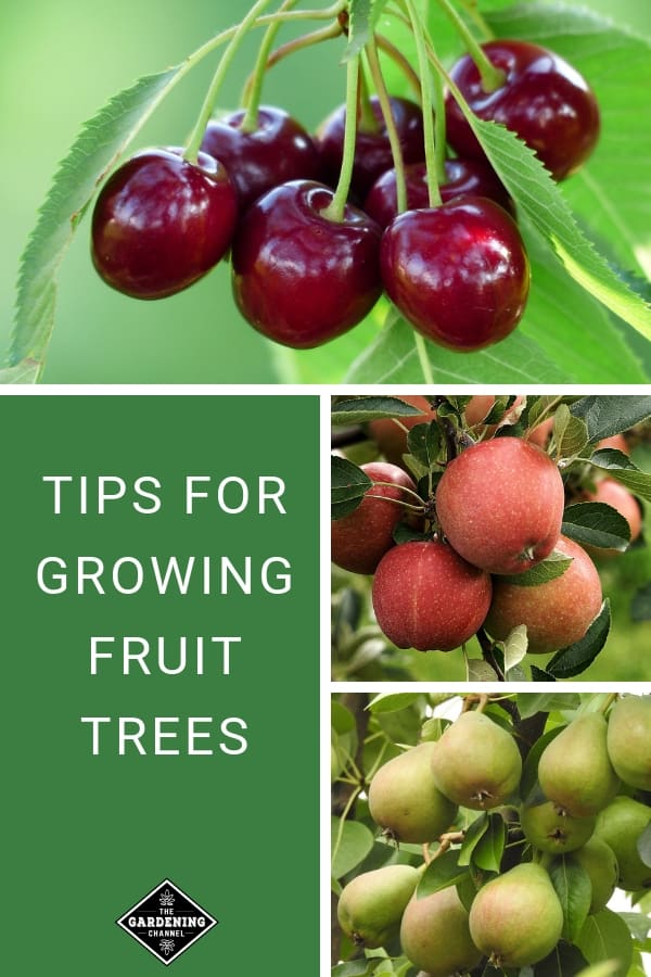 cherry apple and pear trees with text overlay tips for growing fruit trees