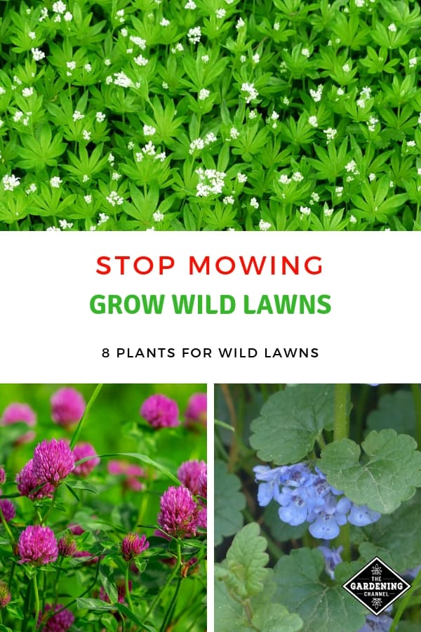 red clover ground ivy with text overlay stop mowing grow wild lawns eight plants for wild lawns