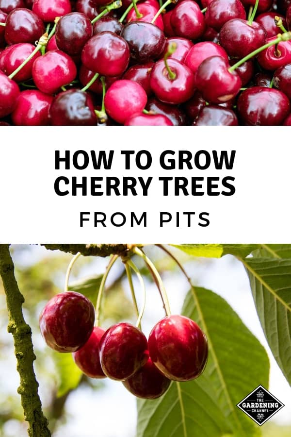 harvested cherries and cherry tree with text overlay how to grow cherry trees from pits