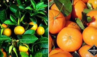 how to grow mandarin oranges