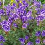 purple hebe shrub