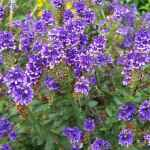 purple hebe shrub