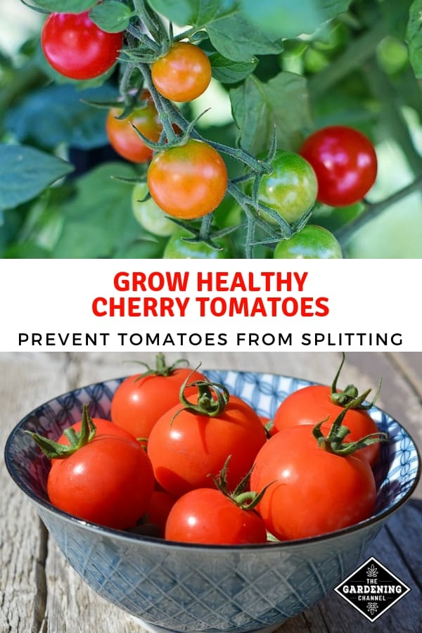 cherry tomatoes in garden and harvested with text overlay grow healthy cherry tomatoes prevent tomatoes from splitting